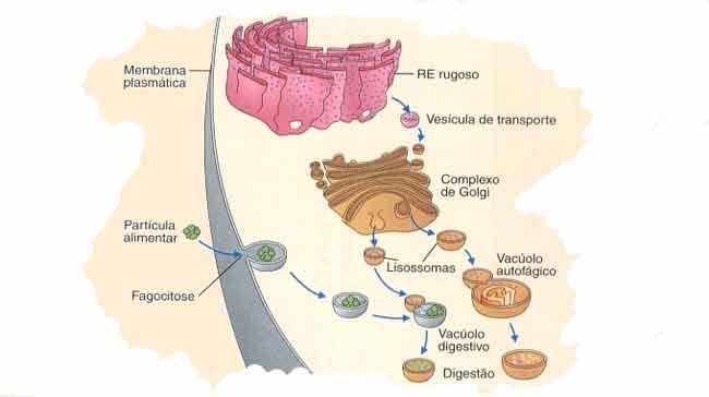 importância dos lisossomos